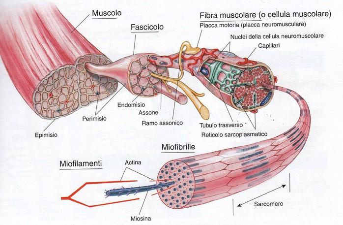 Incrinature in reparto di petto di una spina dorsale